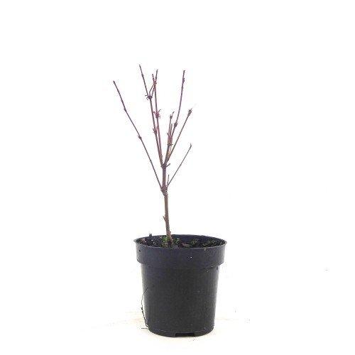 Acer palmatum Phoenix en maceta de 9,5 cm