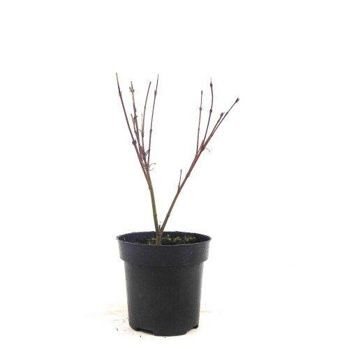 Acer palmatum dissectum Emerald lace en maceta de 9,5 cm