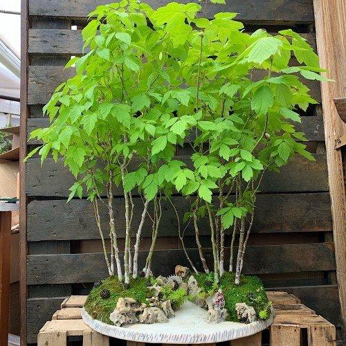 Paisaje Penjing bosque de bonsáis Acer negundo medidas 71x51 cm.