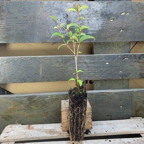 Plantón de Ligustrum japonicum o Aligustre japonés en alveolo...