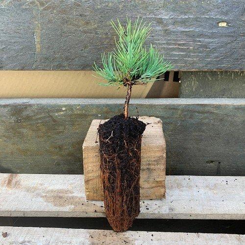 Plantón de Pinus nigra o Pino negral en alveolo forestal