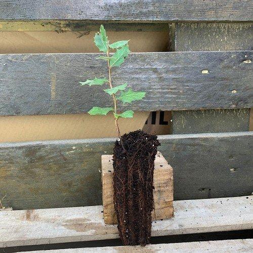 Plantón de Quercus ilex o Encina en alveolo forestal