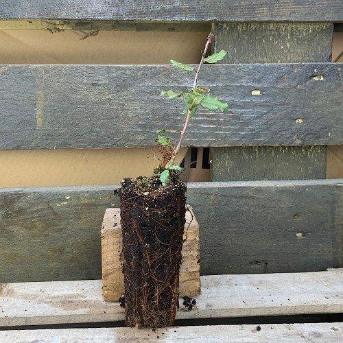 Plantón de Quercus faginea o Roble en alveolo forestal
