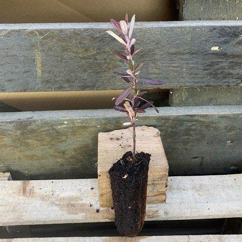 Plantón de pyracantha angustifolia o espino en alveolo forestal