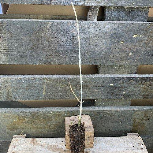 Plantón de Fraxinus angustifolia o Fresno en alveolo forestal