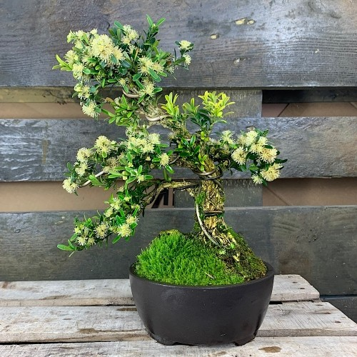 Bonsai Buxus Harlandii, boj medidas 23x21cm