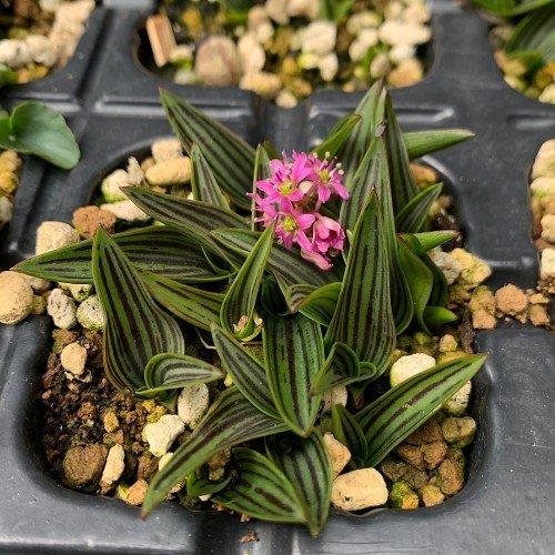 planta de acento ledebouria cooperi en maceta de 7cm