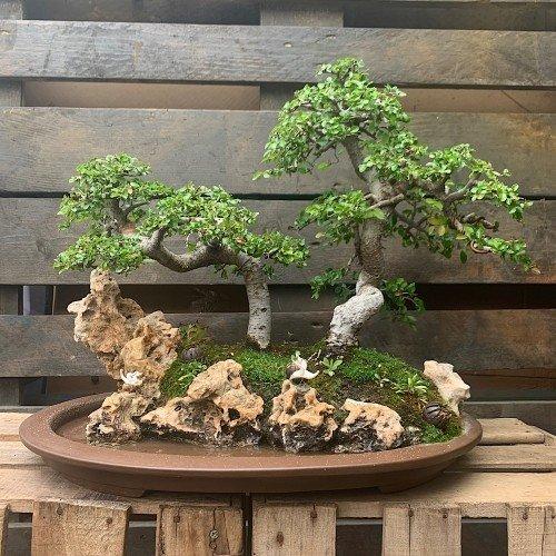 Paisaje (Penjing) de bonsáis de olmos en suiban medidas 40x51 cm