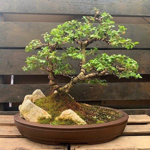 Paisaje (Penjing) bonsái boj ( Buxus Harlandii )medidas 33x35 cm