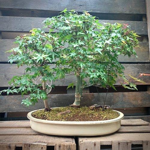 Paisaje Penjing de acer palmatum  deshojo medidas 41x53 cm.