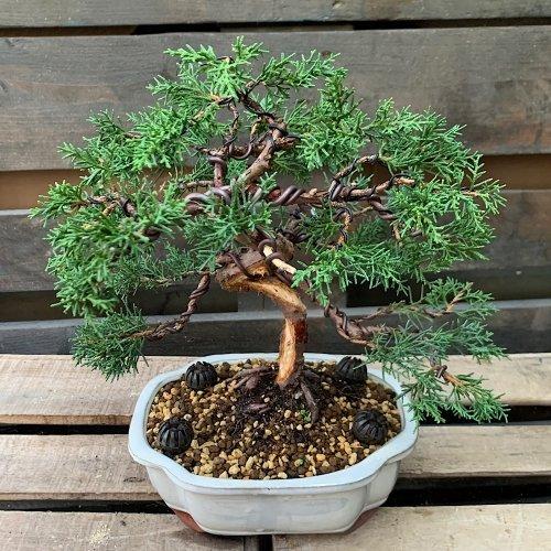 Bonsái junipero chinensis, enebro de la china medidas 27x29 cm