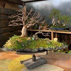 Precioso #paisaje #penjing de #bonsais de #moreras en #piedra de #pizarra trabajada en #penjinggarden Bonsaido.es