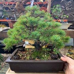 #bonsai #ejemplar #pinoblancojapones #pentaphylla #japon #penjinggarden Bonsaido.es