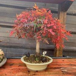#bonsai #acerpalmatum #sahina #penjinggarden Bonsaido.es