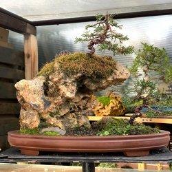 #bonsai #paisaje #penjing #saikei #juniperos #chinensis #penjinggarden Bonsaido.es
