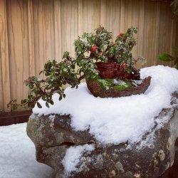 #bonsai #cotoneaster #semicascada en #nieve❄⛄ #penjinggarden bonsaido.es