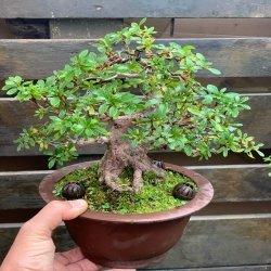 Precioso 😍 #bonsai de #azalea #penjinggarden Bonsaido.es