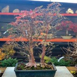 #bonsai #ejemplar #stewartiamonadelpha #penjinggarden #tiendaonline Bonsaido.es