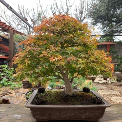 #bonsaiejemplar #acerpalmatum #kashima