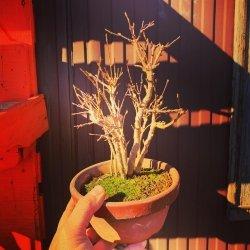 #bonsais #bosque #acerburgerianum #penjinggarden bonsaido.es