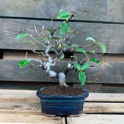 #bonsai #eleagnus #penjinggarden Bonsaido.es