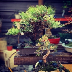 #bonsai #penjinggarden #pinos #penjing #thumbergii #pentaphylla Bonsaido.es