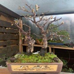 #bonsais #penjing #paisaje #albaricoquejaponés #prunusmume variedad #yabai #yixing #flor #penjinggarden Bonsaido.es