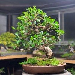 #bonsai #ficus #especietropical #yixing #penjinggarden Bonsaido.es