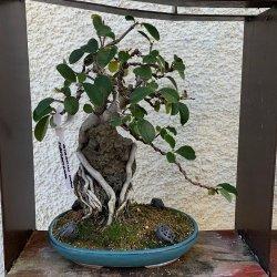 #bonsai #membrillerojaponés #enraizadoenroca #penjinggarden Bonsaido.es