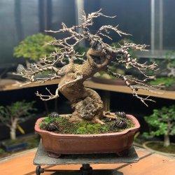 #bonsai #morera #penjinggarden Bonsaido.es diseñado con alambre